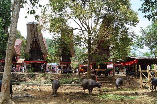 Funerales en Toraja búfalos