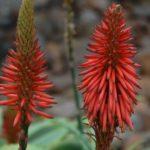 Flor de la Sábila