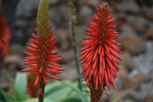 Significado esotérico de la flor de la sábila