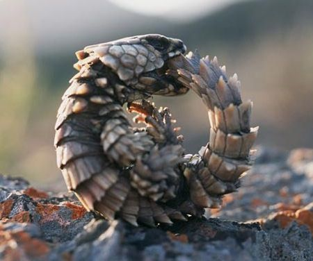 lagarto armadillo